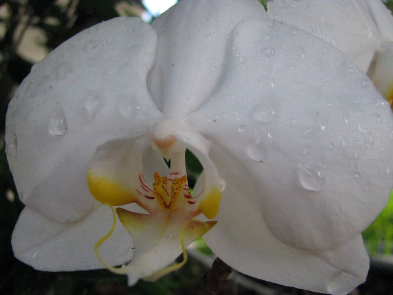 Orchid_colorenhanced052609