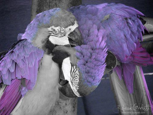 Maarten_macaws_purple